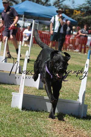 Berwick Flyball Club at Kingston Pet Expo March 2013