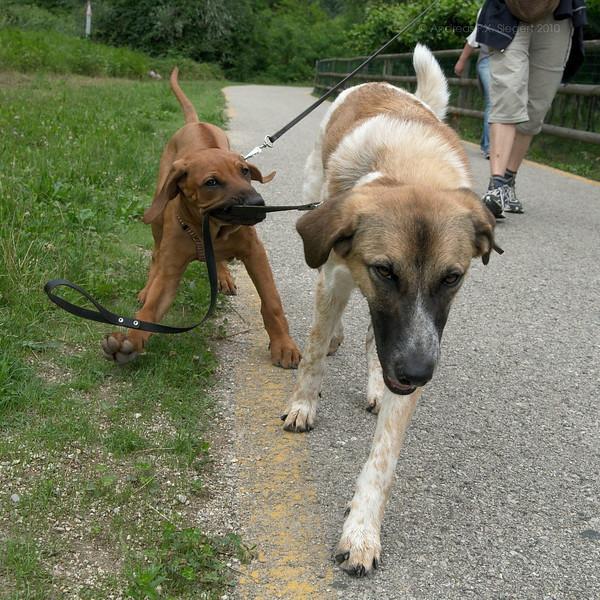 Dog walks dog