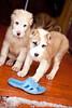 Standing puppies