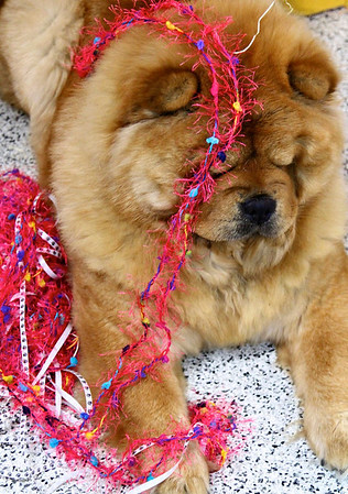 chow,dog,canine,gracie,lillillian,chinarose,chow chow,chinese