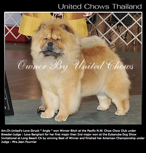 Vincent daughter bred by Ekarat Sangkunakup Vincent x Money (Am.Ch.Uniteds Gold Bullion )  This is Angel  Read more about Ekarat's Chows at his site http://unitedchow.com