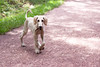 Walking hound