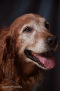 Shimmer - a 10 year old Golden.