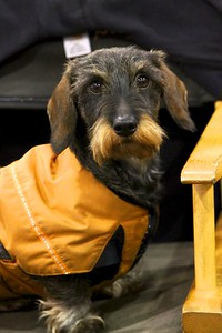 ONE OF THE VENDORS DOGS CANDIDS from the Great Dane Speciality.  Portland Oregon January 16, 2013