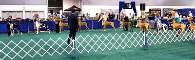 THIS WAS THE WINNERS DOG LINEUP  from the Great Dane Speciality.  Portland Oregon January 16, 2013