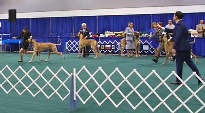 EK CHOOSING HIS BEST IN SPECIALTY WINNER CANDIDS from the Great Dane Speciality.  Portland Oregon January 16, 2013