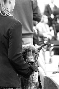 CANDIDS from the Great Dane Speciality.  Portland Oregon January 16, 2013