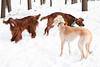 Irish setters and hound