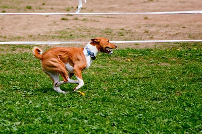 Running Basenji
