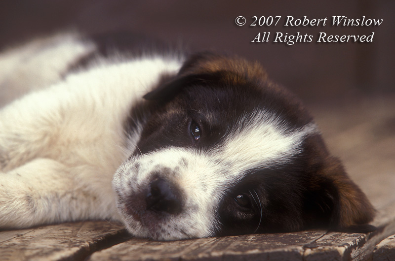 Mixed Breed Puppy (Great Pyrenees, border collie, chow)