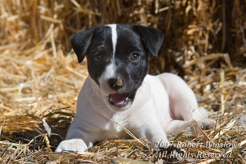 Seven week old Jack Russell Terrier Puppy