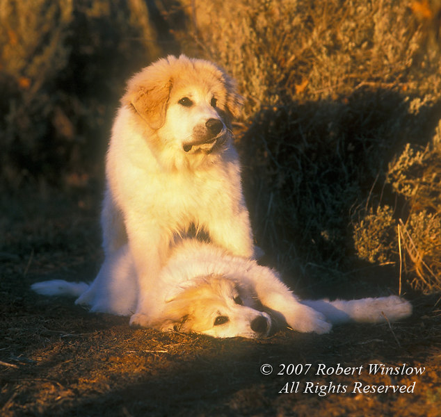 Two Four Month Old Great Pyrenees Puppies