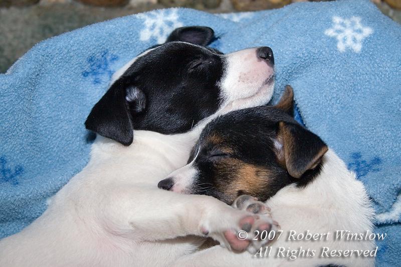 Two Seven week old Jack Russell Terrier Puppies Sleeping