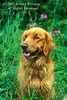 Golden Retriever Dog, Green background