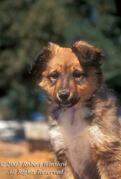 Ten Week Old Sheltie Border Collie Mix Puppy