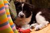 samoed puppy
