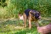 plaing german shepherd