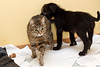 puppy and tabby grey cat