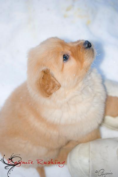 Golden Retriever, Thor 7 Weeks Old