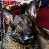 My German Shepherd Kees van de Zeelberg