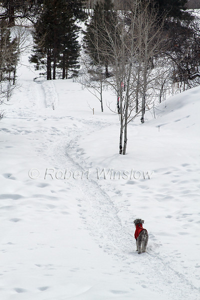 Minature Schnauzer named Duffy on Cross-country Ski Trail, La Plata County, Colorado, USA, North America