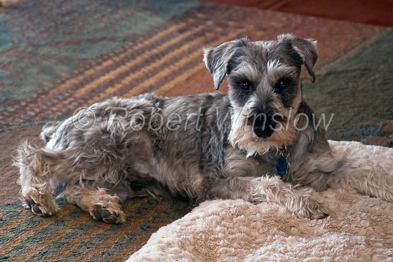 Property Released, Miniature Schnauzer, Resting on his Pillow,  Pure Bred, Male, 3 Years Old