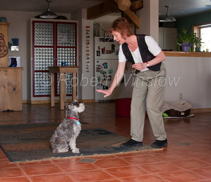 Mode Released, Property Released, Woman training a Miniature Schnauzer, 3 years old, pure bred