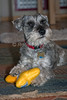 Property Released, Miniature Schnauzer, male, 3 Years Old, Pure Bred, Playing with a toy