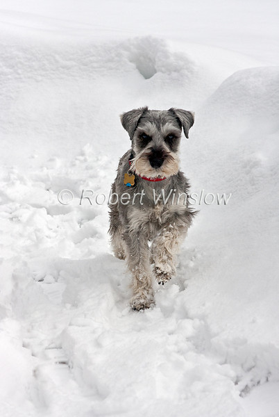 Property Released, Miniature Schnauzer in the Snow, Male, 3 Years Old, Pure Bred