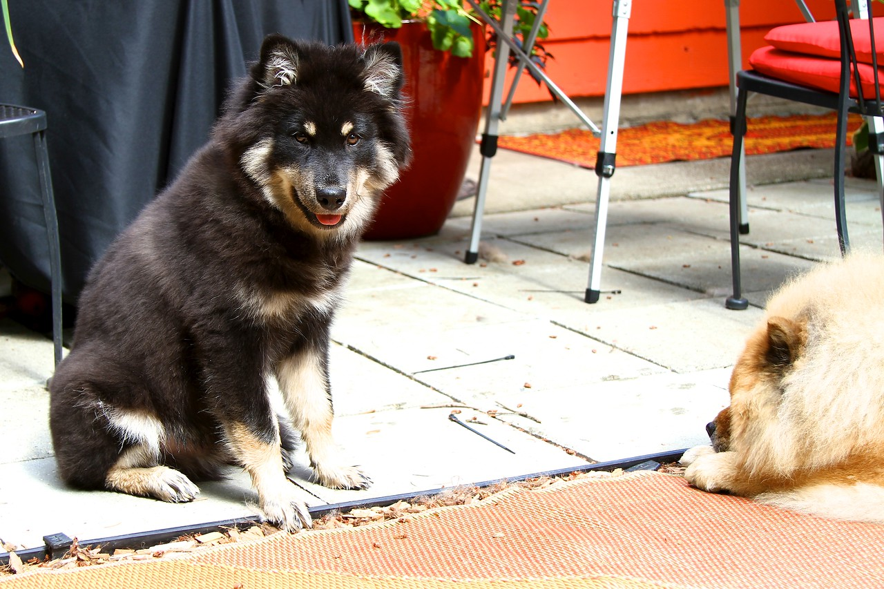 """Onni  waiting for Lil to give up the """"prize"""" September 8, 2012  http://www.facebook.com/ONNItheLAPPIE"""