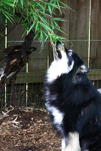 June 21, 2013 Onni helping trim the bamboo