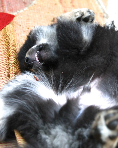 Onni 13 weeks old  7-17-12 -THE POST LAVENDER CHEWING  COMA  http://www.facebook.com/ONNItheLAPPIE
