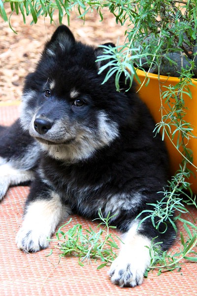 Onni 13 weeks old  7-17-12 -NOW IT'S TIME TO CHEW ON THE LAVENDAR PLANT