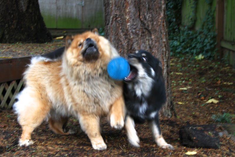 Blurry but cute.  These two love the new nubby squishy ball we got them