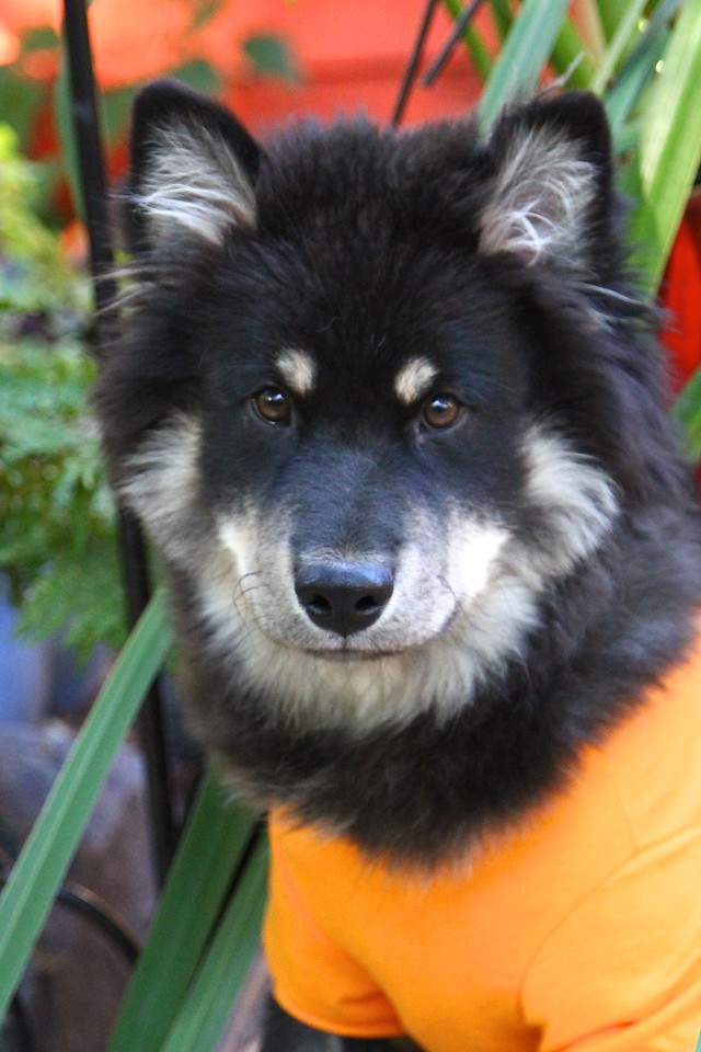 ONNI September 15, 2012 Very handsome in orange!!!  http://www.facebook.com/ONNItheLAPPIE
