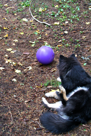 Onni at 6 months old  November 6 2012  What to do...keep scratching or chase the rolling ball