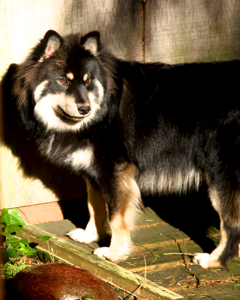 These two photos of Onni in the sun really show off the beautiful shades of color underneath and tipping his black coat