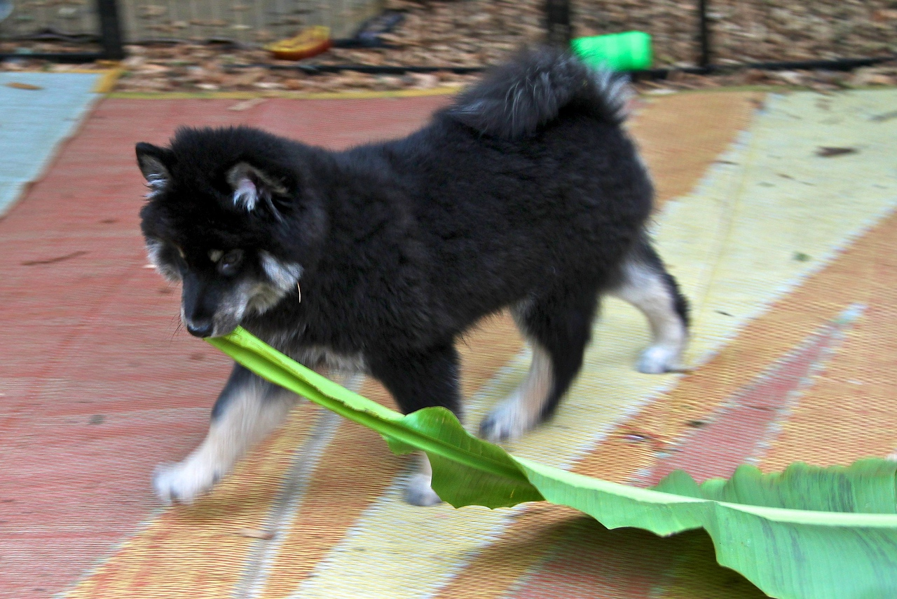 Onni 13 weeks old  7-17-12 -NOW IT IS TIME TO DO SOME SERIOUS LANDSCAPING WITH THESE LEAVES  http://www.facebook.com/ONNItheLAPPIE