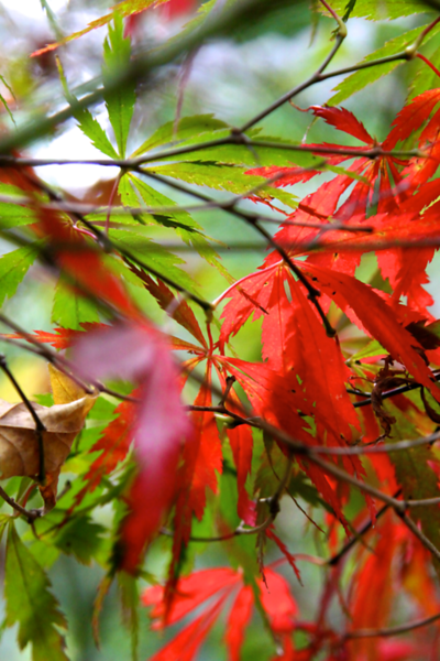 One of my Japanese maples changing