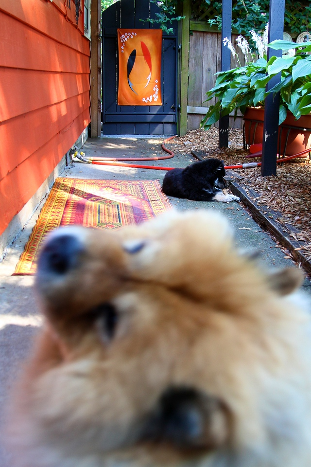 """Onni 13 weeks old  7-16-12-LILLIAN LOOKS OVER HER SHOULDER LIKE """"I NEED A REST...PUT HIM IN HIS PEN""""...SO I DID   http://www.facebook.com/ONNItheLAPPIE"""