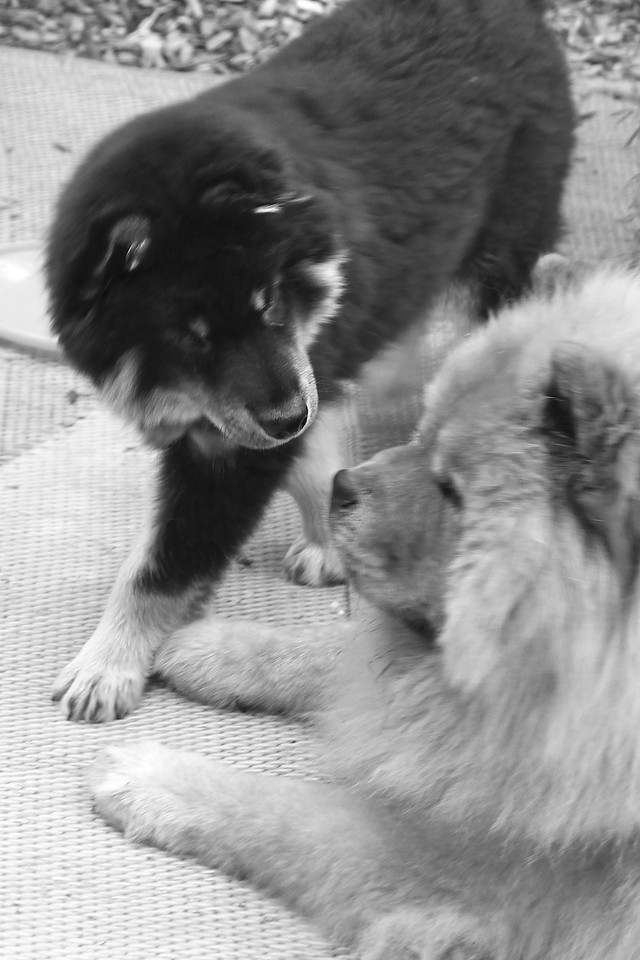 Onni 13 weeks old  7-16-12 -HE TRIED TALKING TO LIL TO GET HER TO PLAY...NOTHING!!!  http://www.facebook.com/ONNItheLAPPIE