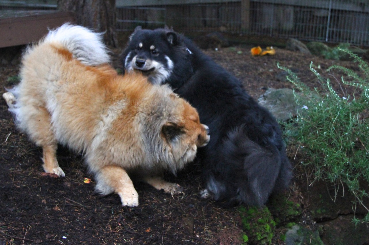 ONNI KNOWS TO KEEP HIS TAIL TUCKED UNDER AROUND LILLIAN WHEN THEY PLAY Onni and Lil enjoying a rainy day in the back yard  1/10/13