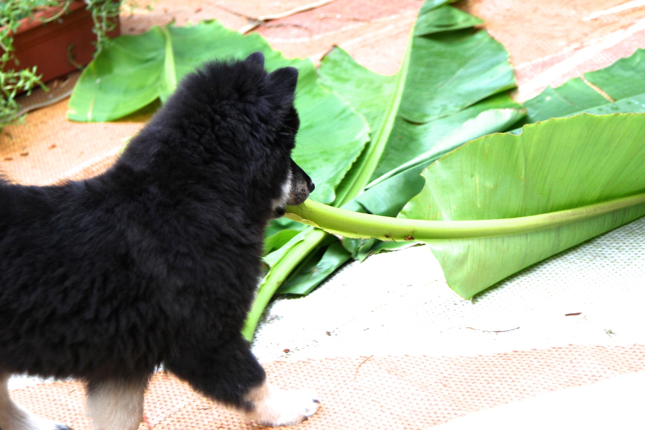 Onni 13 weeks old  7-17-12 -HE DECIDED TO REARRANGE THE LEAVES A BIT AND OFFERED ONE TO LIL. SHE THOUGHT HE WAS LITERALLY BANANAS!