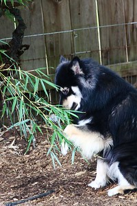 June 21, 2013 Onni helping trim the bamboo.  Look how he uses his paw like a panda to manipulate the bamboo