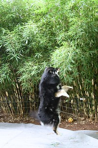 June 21, 2013 Onni helping trim the bamboo.  He stands on his hind legs or leaps to grab a piece to pull it to his level