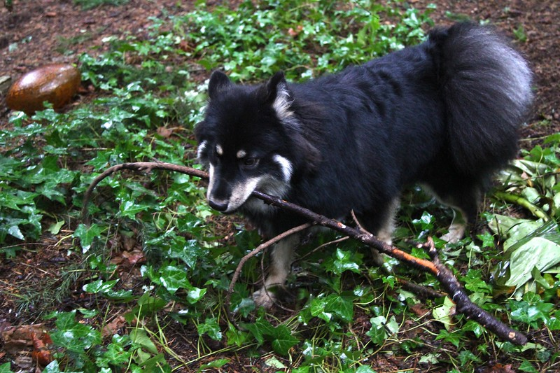 Every day Onni brings branches this size into the house !! Or at least he tries Onni and Lil enjoying a rainy day in the back yard  1/10/13