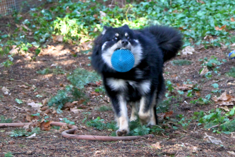 Onni today and some action shots.  Wish this had better focus. Our woods is so dark and hard to get action shots even on a sunny day