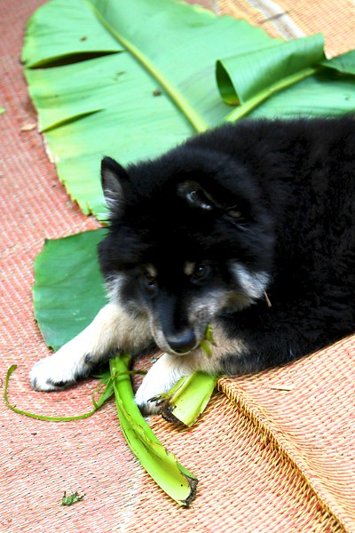 Onni 13 weeks old  7-17-12-HE CRUNCHED ON THE LEAVES FOR ABOUT AN HOUR 
