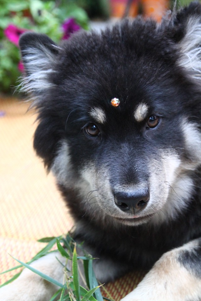 ONNI July 18, 2012  Onni gets a bindi...test driving the durability of the self adhesive Swarovski crystals we got yesterday  http://www.facebook.com/ONNItheLAPPIE
