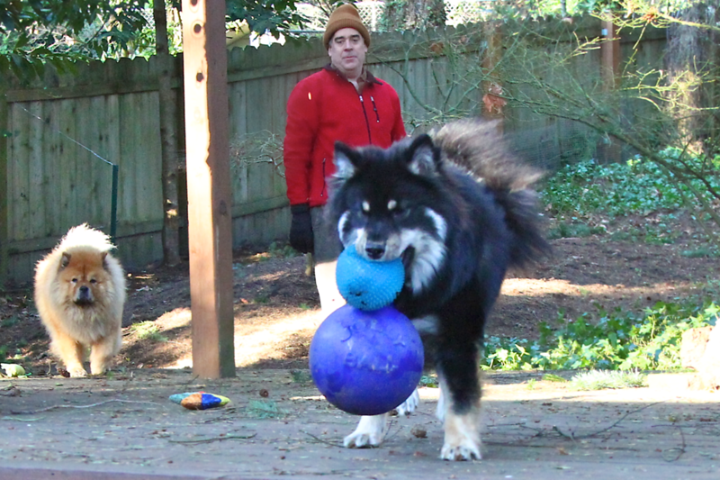 Onni was carrying the smal ball and Steve threw him the big one with the handle and he caught it!  Even Lil was stunned and had to come over and investigate!!